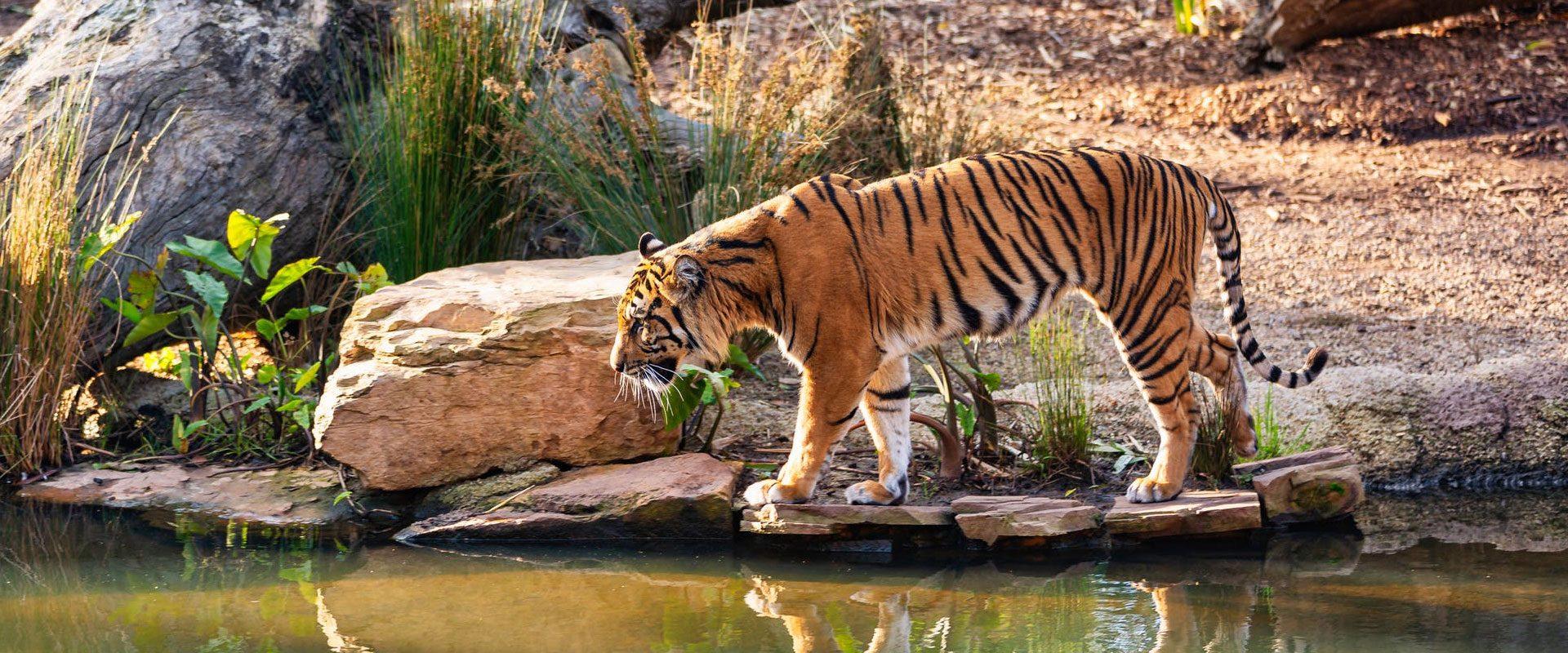 tiger_new